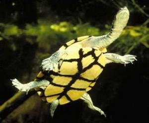 Длинношейная черепаха