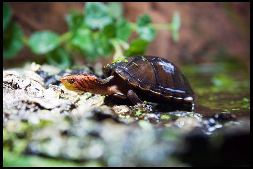 Мускусная аквариумная черепаха