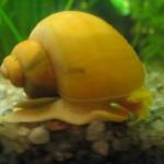 Зачем разводят улиток в аквариуме