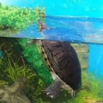 Аквариумные черепахи