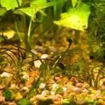 Бурые (диатомовые) водоросли в аквариуме