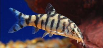 Аквариумная рыбка боция