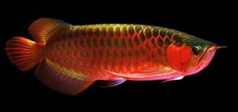 Арована — рыбка которая приносит богатство