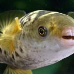 Рыбы, которые могут расстроить жизнь в аквариуме