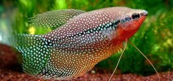 Гурами: идеальные обитатели домашнего аквариума