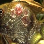 Лечение язвенной болезни аквариумных рыбок