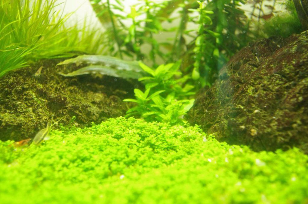 классификация водорослей в аквариуме
