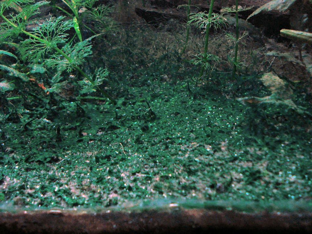 сине-зеленая водоросль в аквариуме