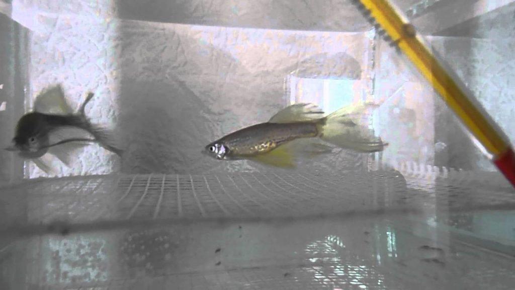 Две рыбки Данио