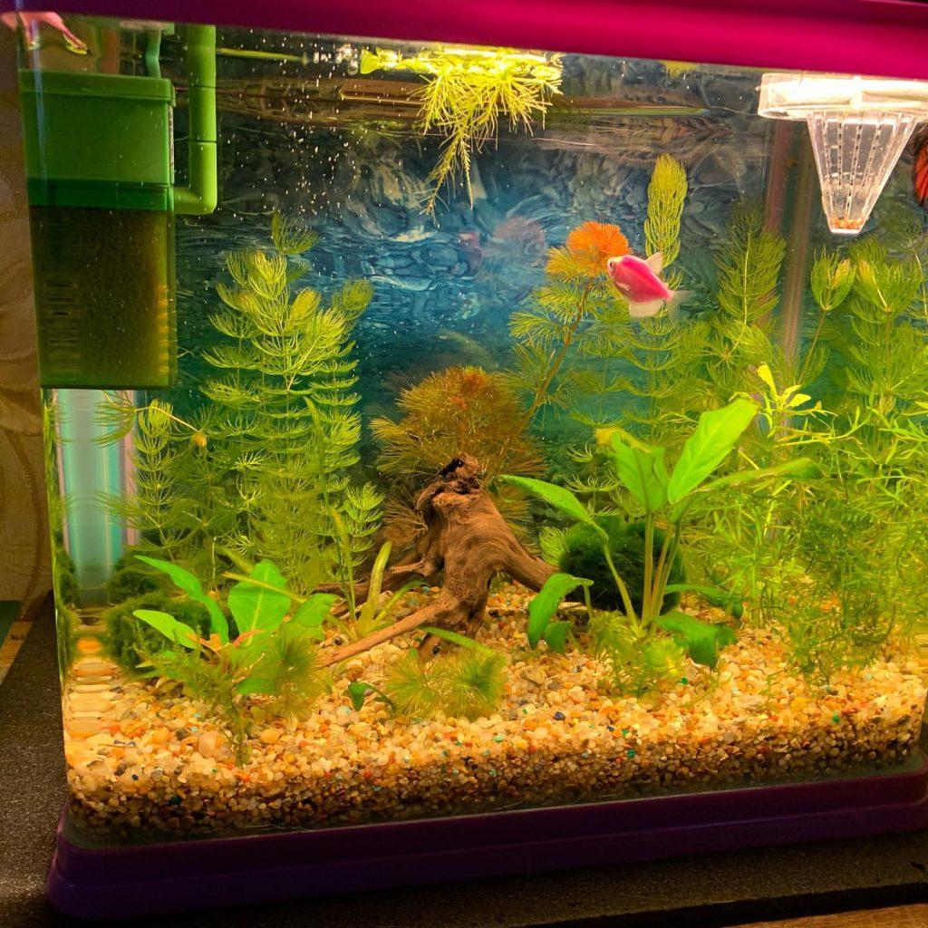 тернеция в новом аквариуме