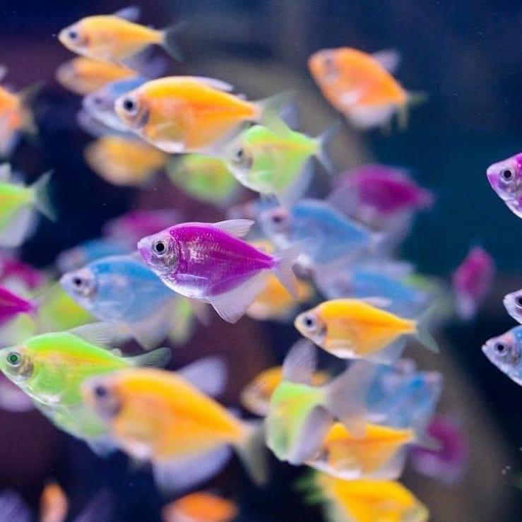 разноцветные Глофиш