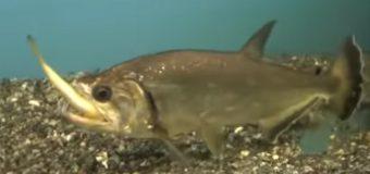 Рыбки хищники: разновидности и условия содержания в аквариуме